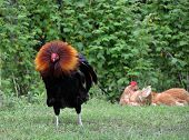 stock photo of roosters  - Free range rooster with hens - JPG