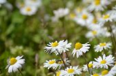 stock photo of chamomile  - beautiful colors of chamomile and grass in spring