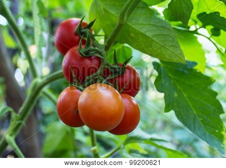 Bunch Of Ripe Tomatoes In The Garden. Nature
