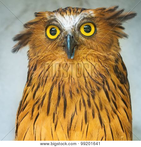 Buffy Fish Owl portrait close up of yellow eyes