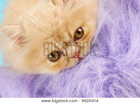 Persian Kitten Peeking