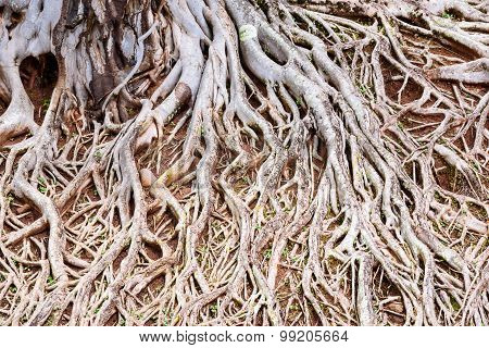 Roots Of Old Tree, Amazing Chaos At Chulabhorn Dam, Chaiyaphum, Thailand.