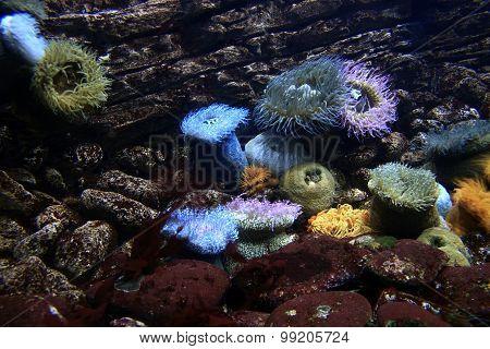 Sea Anenome, Open And Feeding.