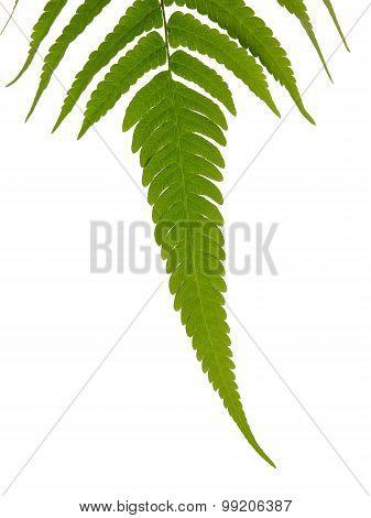 Green Leave Of Fern