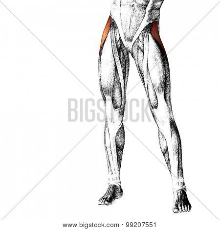 Concept or conceptual 3D adductor longus human upper leg anatomy or anatomical and muscle sketch isolated on white background