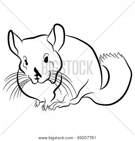 An image of a chinchilla.