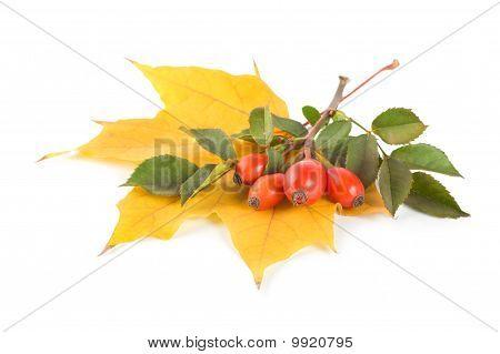 Maple Leaf And Briar