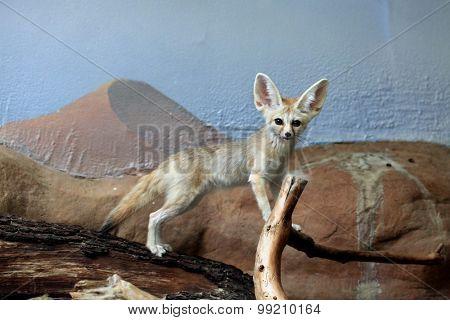 Fennec fox (Vulpes zerda). Wild life animal.