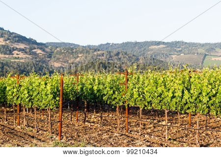 Grape Vines