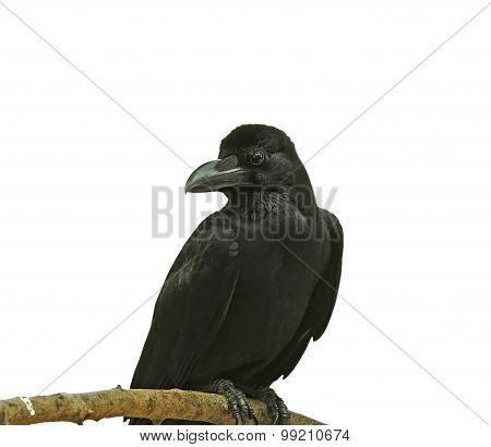 Black Bird (Large-billed Crow) on a branch