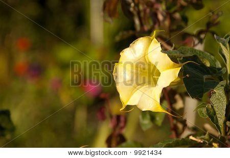 Brugmansia Versicolor