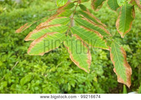 Leaf Blight Of Nephelium Lappaceum Or Rambutan Lack Of Potassium