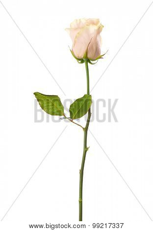 Pale pink  rose isolated on white background.