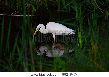 Great White Heron Feeding