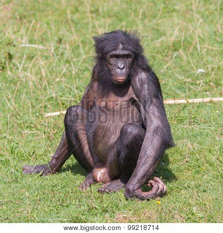 Adult Bonobo