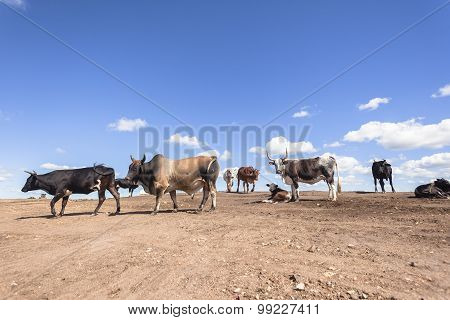 Cattle Animals Closeup