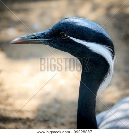 Demoiselle Crane (anthropoides-virgo)