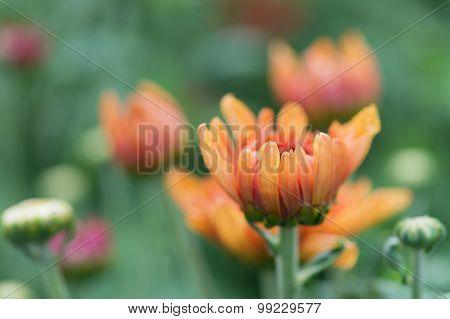 Chrysanths in flower bed in garden
