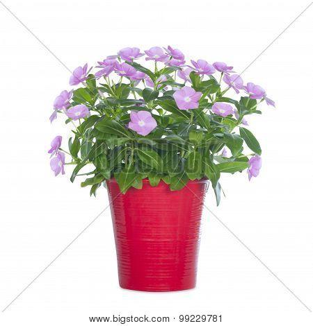 indoor flower in a red flowerpot