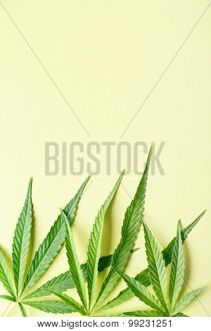 cannabis leaves on yellow background