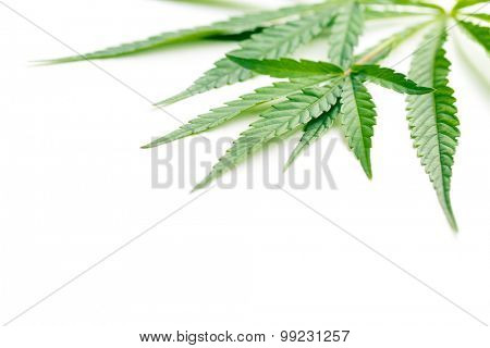cannabis leaves on white background