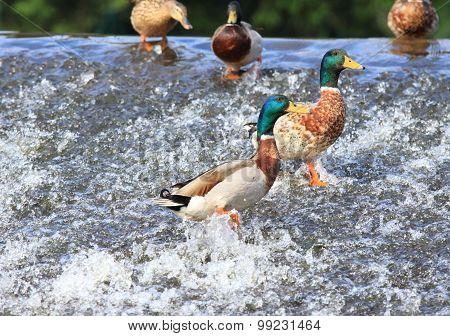 Wild Ducks, Lat.  Anas Platyrhynchos