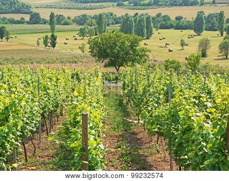 Landscape Of A Wine Area