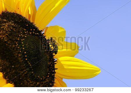 Bee On Sunflowers