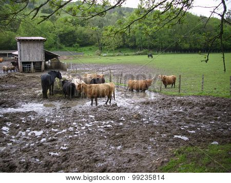 Cattle and horse in a muddy field