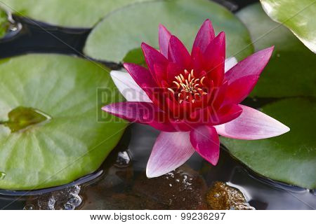 Waterlily With Green Natural Background On A Pond. Azores. Portugal