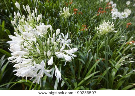 White Agapanthus Flower Over A Green Background In Azores. Portugal