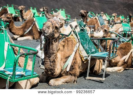 resting touristic camelcade on Lanzarote of the Canary islands
