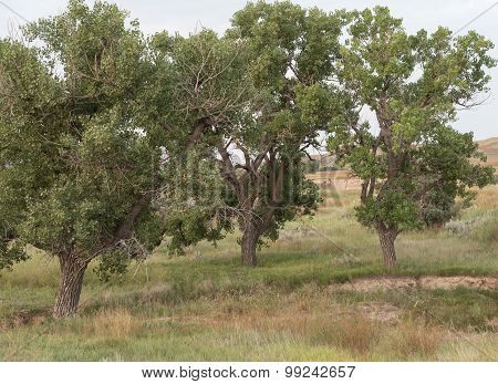 Plains Cottonwood Populus Sagentii