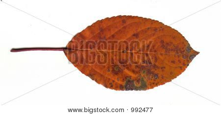 Orange Fall Leaf