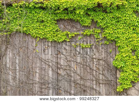 Virginia creeper on an old wooden facade