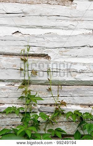 Foliage Wild Grapes On Vintage Wooden Background With Copy Space.