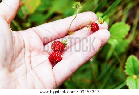 The Red Berries Of Strawberries Lying On The Palm
