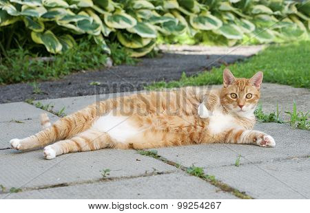 Fat orange lazy cat in the street