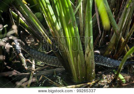 Snake Caught Frog