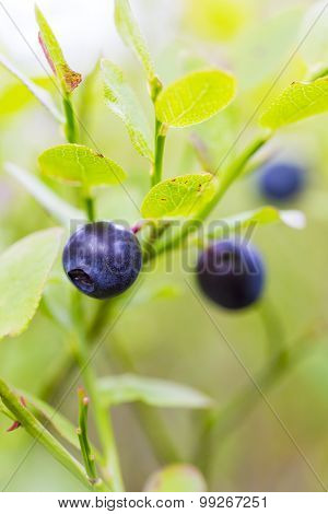 Natural growing healthy blueberries in the woods