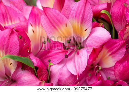 Petals Of Pink Lily
