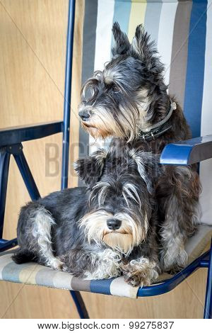 Two Funny Black And Silver Miniature Schnauzer Dogs In The Chair