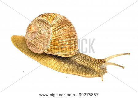 Garden Snail (helix Aspersa) Snails Provide An Easily Harvested Source Of Protein To Many People Aro