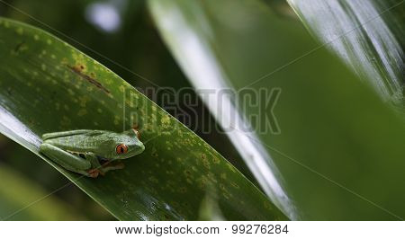 Agalychnis Callidryas, Red Eyed Tree Frog