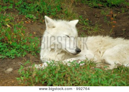 Artic Wolf (1375)