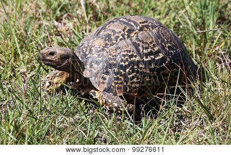 Wild African Leopard Tortoise