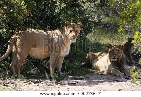 The Lion's Den - African Lions