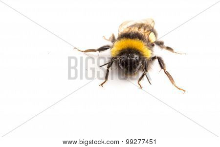 A Bumble Bee on white