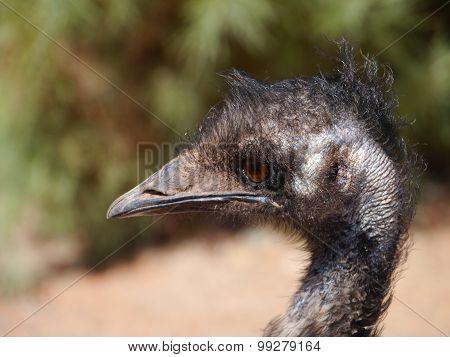 A portrait of an Australian emu