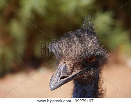 A portrait of an Australian emu
